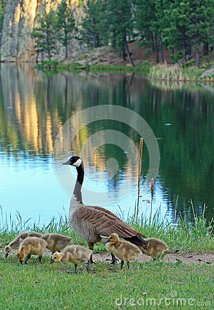 Free Canadian Goose With Baby Goslings Next To Sylvan Lake In Custer State Park In The Black Hills Of South Dakota Royalty Free Stock Photos - 68655568