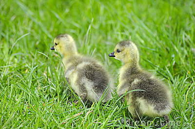 Canadian goslings
