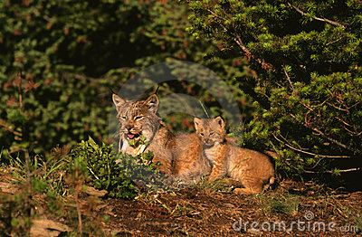 Canadian Lynx Female and Kitten