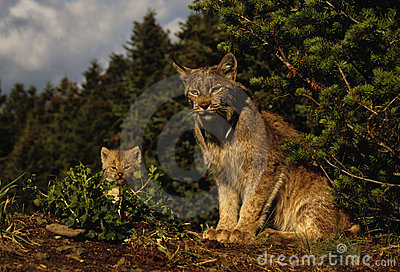 Canadian Lynx With Kitten