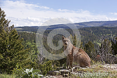 Canadian Lynx in mountain skyline