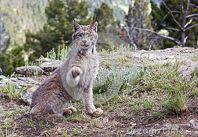 Canadian Lynx in mountains