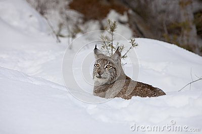 Canadian Lynx in Relaxed Stance