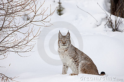 Canadian Lynx Sitting in Snow