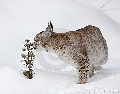 Canadian Lynx Smelling Young Pine Tree
