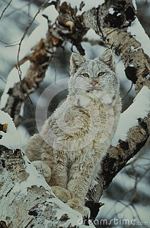 Canadian Lynx in Snowstorm