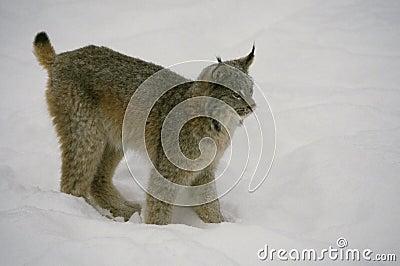 Canadian Lynx in Winter