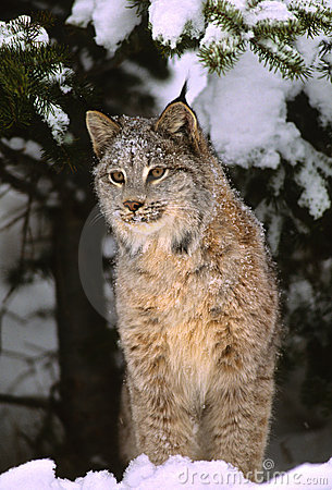 Canadian Lynx in Winter