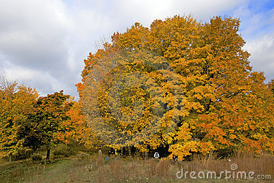 Canadian Maple Trees in Vibrant Color