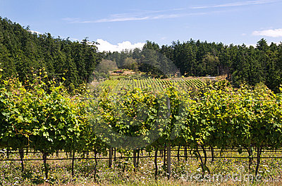 Canadian west coast vineyard