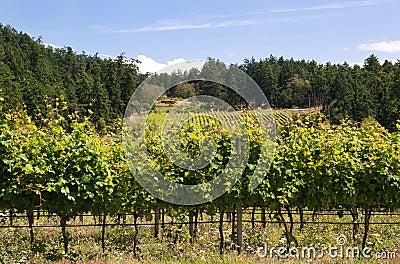 Canadian west coast vineyard