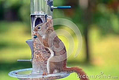 Canadian Wild Brown Squirrel
