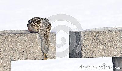Canard de colvert regardant vers le bas