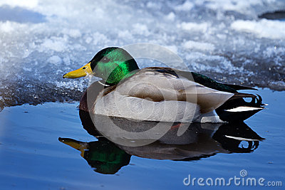 Canard froid