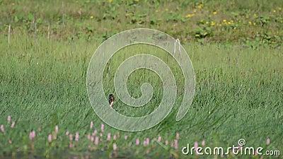 Canard sauvage de Mallard avec des platyrhynchos d'ana de libellule dans l'herbe banque de vidéos