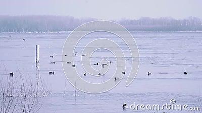 Canards sauvages nageant le flottement en bas d'une rivière dans l'horaire d'hiver banque de vidéos