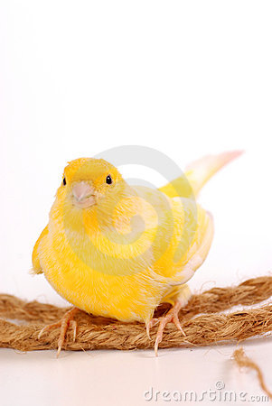 Free Canary Royalty Free Stock Photos - 7291898