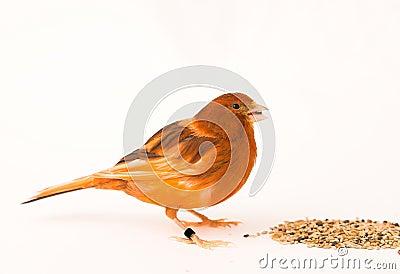 Canary bird - female