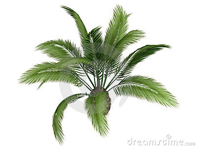 Canary_date_palm_(Phoenix_canariensis)