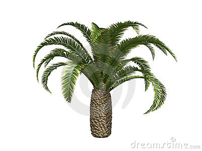 Canary date Palms