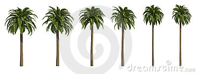 Canary date Palms