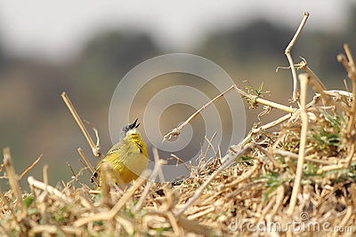 Canary at nest