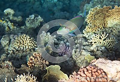 Candelamoa parrotfish