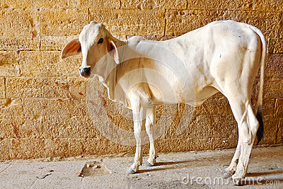 Candid veal