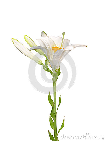 Candidum百合属植物百合madonna