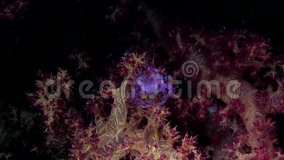 Candy crab on soft coral in Red sea stock video footage