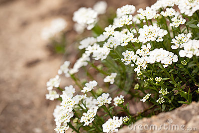 Candytuft on a garden step