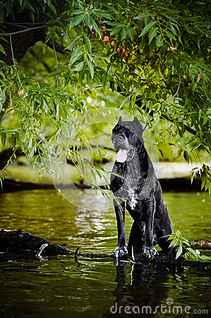 Cane Corso black dog in nature