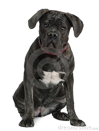 Cane Corso dog, 7 months old, sitting