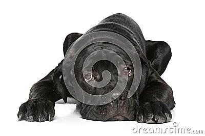 Cane corso dog puppy lying on a white
