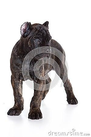 Cane Corso Italiano puppy