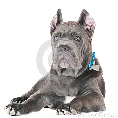 Cane Corso Italiano Puppy Black Cane Corso With Blue Eyes
