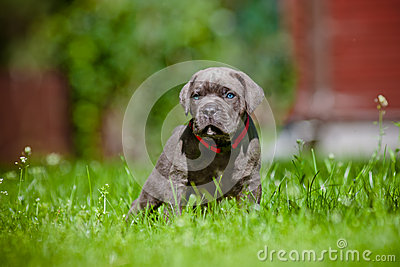 Cane corso puppy with blue eyes