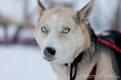 Cane del husky con gli occhi azzurri fotografia stock - Cane occhi azzurri ...