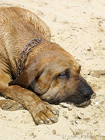 Cane del segugio