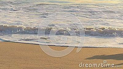 Cane di golden retriever che insegue giocattolo sulla spiaggia video d archivio