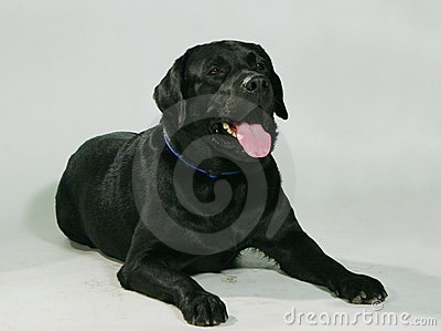 Cane di razza