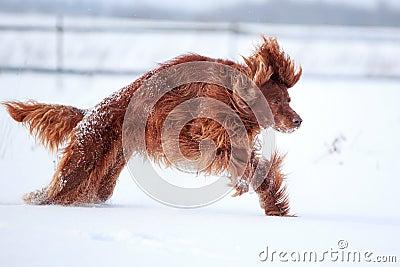 Cane rosso del setter Irlandese