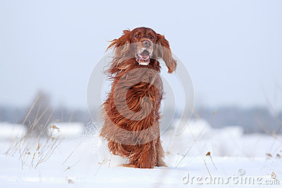 Cane rosso del setter Irlandese