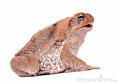 Cane Toad isolated on white background