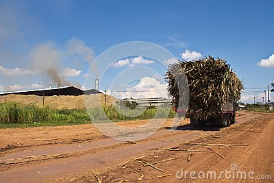 Cane trucks to sugar factory