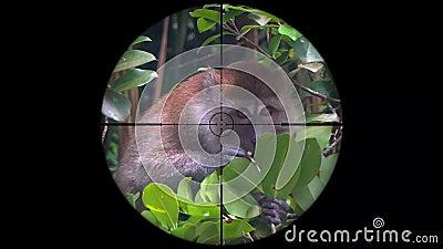 Cangrejo-comiendo los fascicularis del Macaca del Macaque, también conocidos como el mono de cola larga visto en alcance del rifl almacen de video