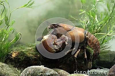 Cangrejos de la señal, leniusculus de Pacifastacus