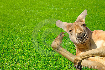 Canguro de mirada humano divertido en un césped