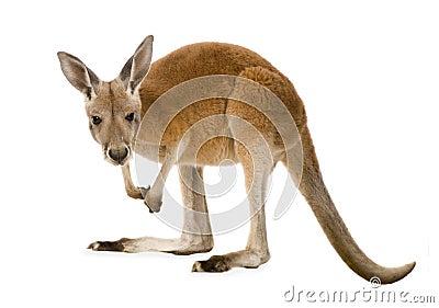 Canguro rojo joven (9 meses) - rufus del Macropus