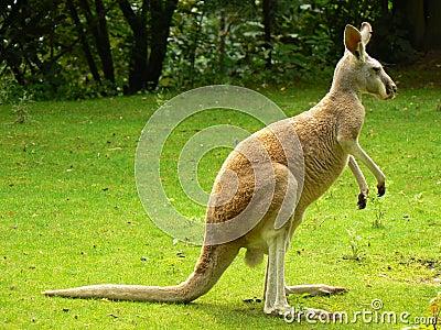 Canguro rojo (rufus del Macropus)